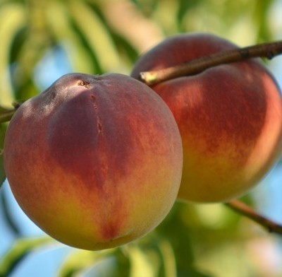 Dr Oz: Organic Produce Pesticide Test – Organic Peaches & Celery Test