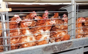 Dr Oz: What Does Cage Free Mean & Meat Labeled Grass Fed Worth Cost?