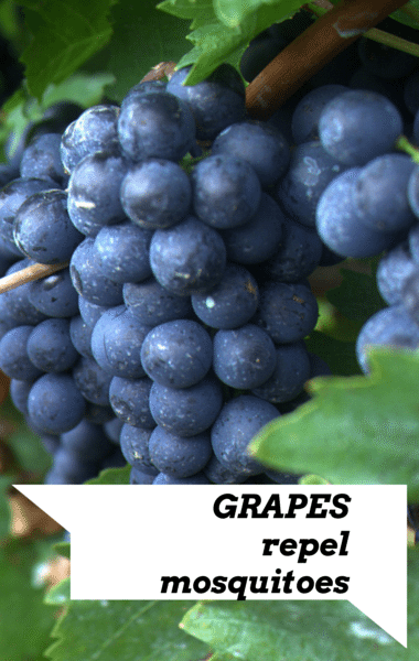 Dr Oz: Grapes Repel Mosquitoes, Sunscreen Expiration Date + Base Tan