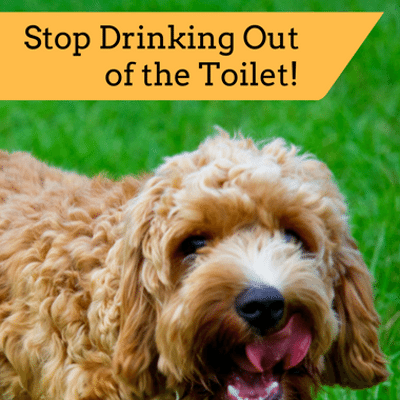 Dr Oz: Cesar Millan + How To Prevent Dog Drinking Out Of Toilet